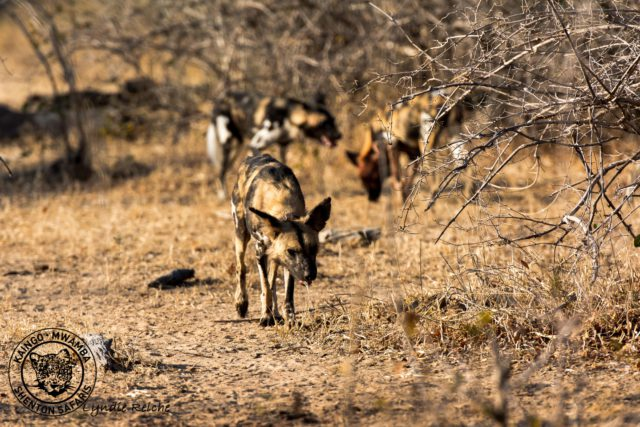 Wild Dogs Early Morning Surprise