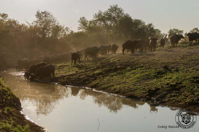 buffalo hide