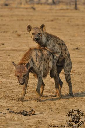 hyaenas-mating2