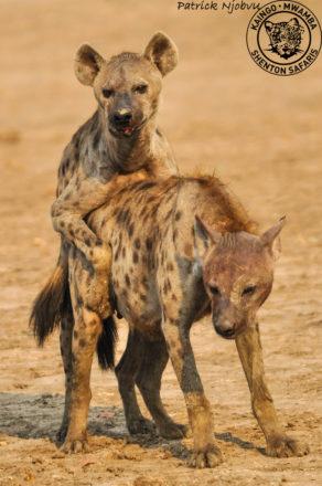 hyaenas-mating3