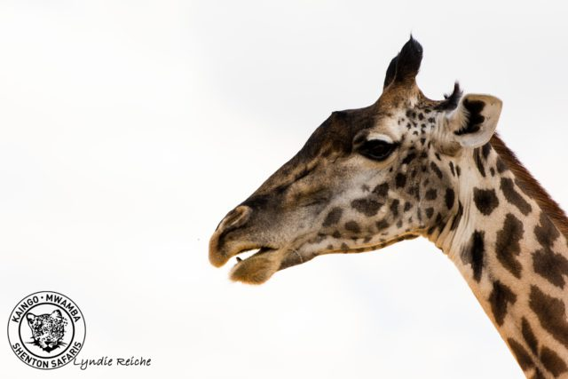 giraffe-lyndie