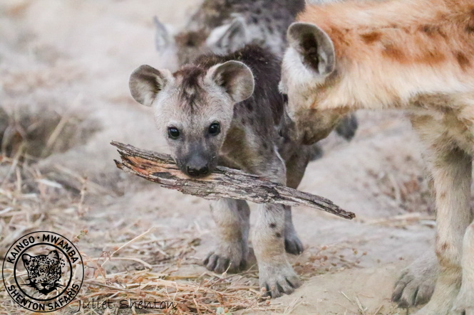 Mother Hyena Rounds Up Her Cub