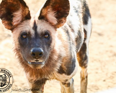Wild Dog Takes on a Funeral of Vultures