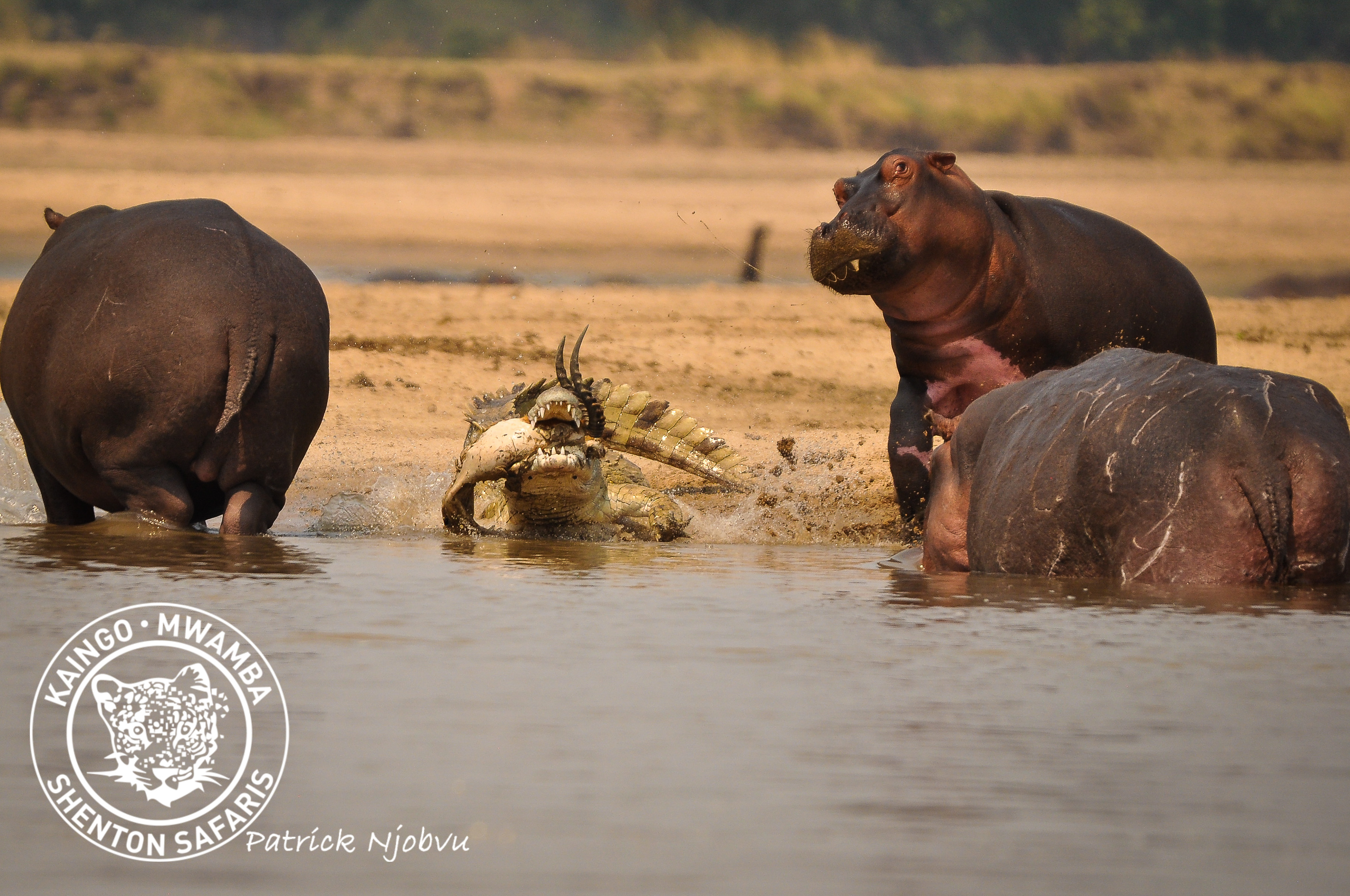 Crocodiles Meal Interrupted By a Curious Hippo