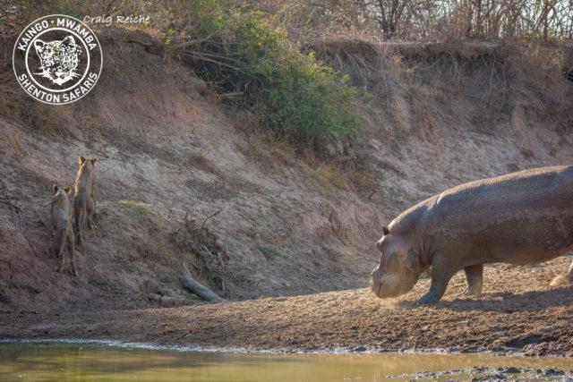 Mwamba-Kaingos Claim the Last Waterhole Hide