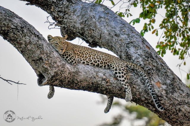 Leopard Cubs - The First Sighting