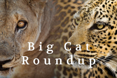 Big Cat Roundup